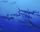Norbert Wu's Favorite Images: School of Scalloped Hammerhead Sharks Photo