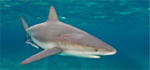 Florida is set to impose restrictions on shore based shark fishing Photo