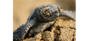 Populations of sea turtles are recovering worldwide Photo