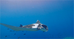 Raja Ampat: Misool manta show video Photo