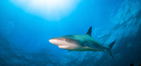 British Virgin Islands announces shark sanctuary Photo