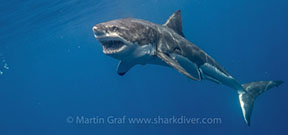 Holiday Gift Idea: Sponsor a Shark Photo