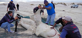 Three dead great white sharks at Gansbaai Photo