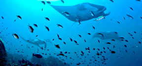Indonesia creates new manta ray sanctuary Photo