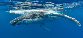 The Humpback Whales of Tonga by Don Silcock Photo