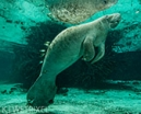 The Manatees of the Crystal River by Don Silcock Photo