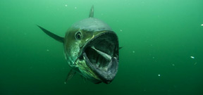 Bluefin Tuna underwater by Brian Skerry Photo