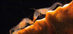 Snapping shrimp are the honeybees of the sea Photo