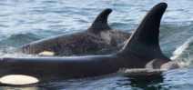 Rehabilitated orca spotted with calf Photo