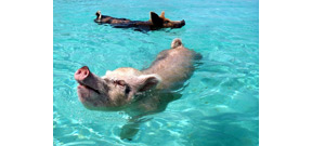 Several swimming pigs found dead in Bahamas Photo