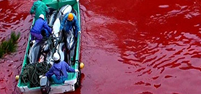Graphic footage of dolphin killings from Taji Photo