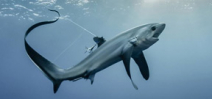 Thresher sharks, silky sharks and devil rays receive protection at CITES Photo