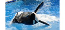 Tilikum the Orca, subject of the Blackfish documentary, has died Photo