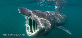 A shiver of 50 basking sharks off Big Sur Photo