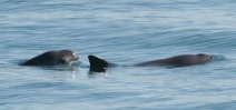 A battle to save the most endangered marine mammal: The Vaquita Photo