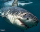 Australian Great White Sharks by Don Silcock Photo