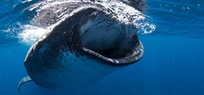 Now available: Wetpixel Whale sharks 2014 Photo