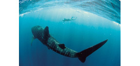 Whale shark encounter database helps scientists track largest fish Photo