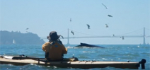 Kayakers experience humpbacks feeding in San Francisco Bay Photo