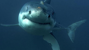 Underwater photographer's close encounter with great white captured on 360 video Photo