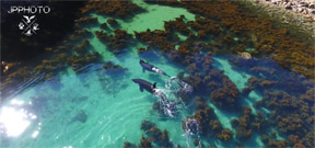 Video: Orcas hunting in crystal clear shallows Photo