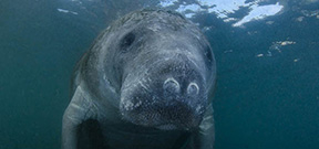 Video: Manatee by Joe Romeiro Photo