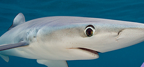 Image: UK blue sharks Photo