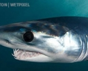 Image: Mako Shark by Amanda Cotton Photo