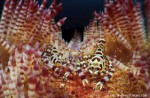 Updates from Ambon: Coleman's shrimp pair Photo