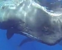 Video: Sperm whale birth by Kurt Amsler Photo