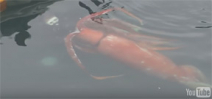 Giant squid filmed in shallow water in Japan Photo