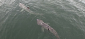 Video: Basking sharks filmed from air off Gloucester Photo