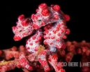 Image: Cuddling seahorses by Marco Bebi Photo