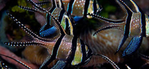 Image: Banggai Cardinalfish by Billy Watson Photo