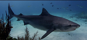 Video: Shark Dream by Andy Casagrande Photo