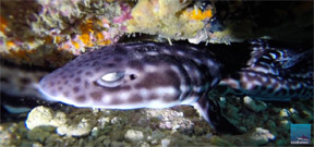 Borneo from Below: Catsharks Photo