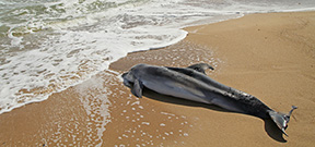 Paper describes apparent grieving behaviour among whales Photo