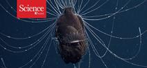 Video: Deep sea anglerfish with parasitic male Photo