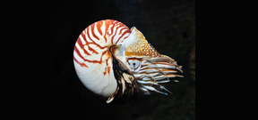 Video: Encounter with a Nautilus Photo