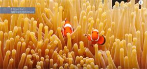 Video: Colorful clownfish hide out in anemone fish home Photo