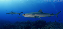France announces shark cull in Réunion Photo