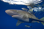Oceanic white-tip shark expedition trip report Photo