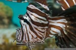 Lionfish cull in the Bahamas, CBS evening news Photo