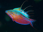 Flasher wrasse heaven in Southern Halmahera Photo