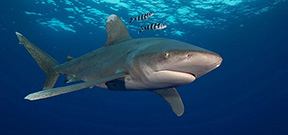 Spaces available for Wetpixel Oceanic Whitetips Expedition Photo