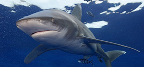 Wetpixel Oceanic Whitetips 2015 Photo