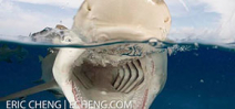 Wetpixel Ultimate Tiger Sharks 2015 Photo