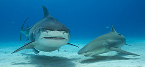 Last few spaces on Wetpixel Ultimate Tiger Sharks available Photo