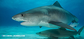 Trip updates: Wetpixel Tiger Sharks 2015 Photo