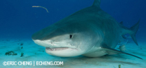 Last space: Wetpixel Tiger sharks 2015 Photo